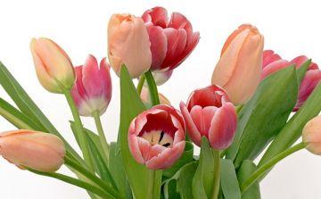 tulips-2152974_960_720.jpg